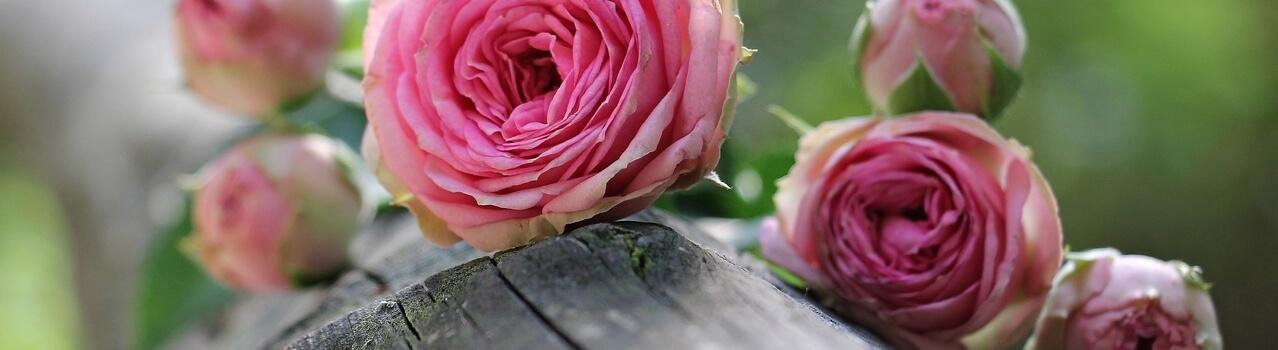 slider roses anciennes au bouton dor